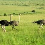 Algunas ideas de negocios o inversiones donde tal vez puedes perder tu dinero, el caso de los huevos de avestruz