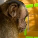 Un video que demuestra el sentido de justicia y de cooperación de los monos … si los humanos fuéramos más parecidos a ellos viviríamos mejor